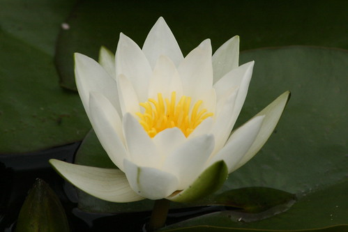 White Water Lily with Pollen