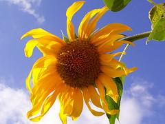 Hey You! (marni*) Tags: blue sky flower beauty yellow bluesky bleu sunflower highfive amateurs ih beautyofnature abeauty amateurshighfive invi