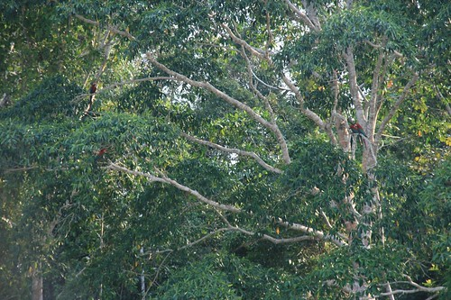 Macaw's along the Tambopata
