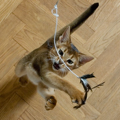 Big Jump 10 (peter_hasselbom) Tags: cats cat toy jump oak kitten play floor flash feather kittens abyssinian hunt hardwood practise flickrsbest 19weeksold cc100 cc1000 strobist cat1000