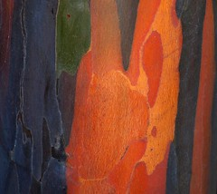 Rainbow Eucalyptus Tree (Mindanao Gum) (ChinaLeft) Tags: trees macro nature colors vivid bark treebark rainbowtree rainboweucalyptus mindanaogum