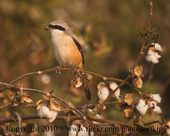shrike (Saking--Little Busy) Tags: nature colors birds kingdom cotton stealth saqib saking mywinners concordians kingloi stunningwisdom