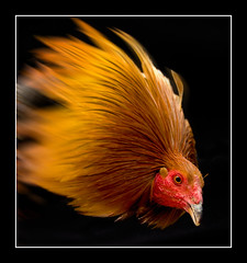 """Portrait of a Warrior"" (Alfredo11) Tags: animal engagement fight battle cock angry rooster peopleschoice fretful superbmasterpiece irresisteblebeauty diamondclassphotographer flickrdiamond theunforgetablepictures onlythebestare"