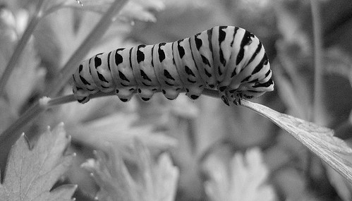 black and white caterpillar. lack and white caterpillar.