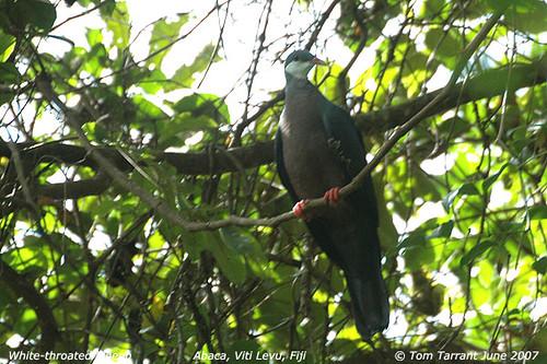 Metallic Pigeon (Columba vitiensis vitiensis)