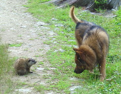 Dog vs. Groundhog