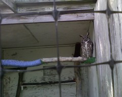 Rescued owl, Upper Schuylkill Valley Park