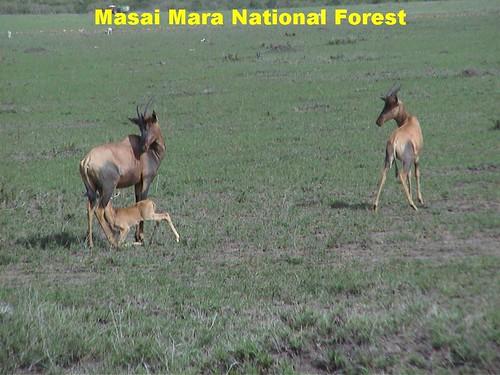 Mara Antelope Kid Drinking Milk