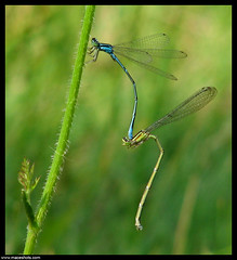 River Bluets - Enallagma anna (emace) Tags: bug insect illinois damselflies cookcounty ultimateshot specinsect wowiekazowie theunforgetablepictures riverbluet enallagmaanna