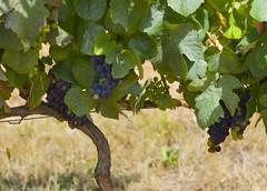 2007 Portuguese Harvest