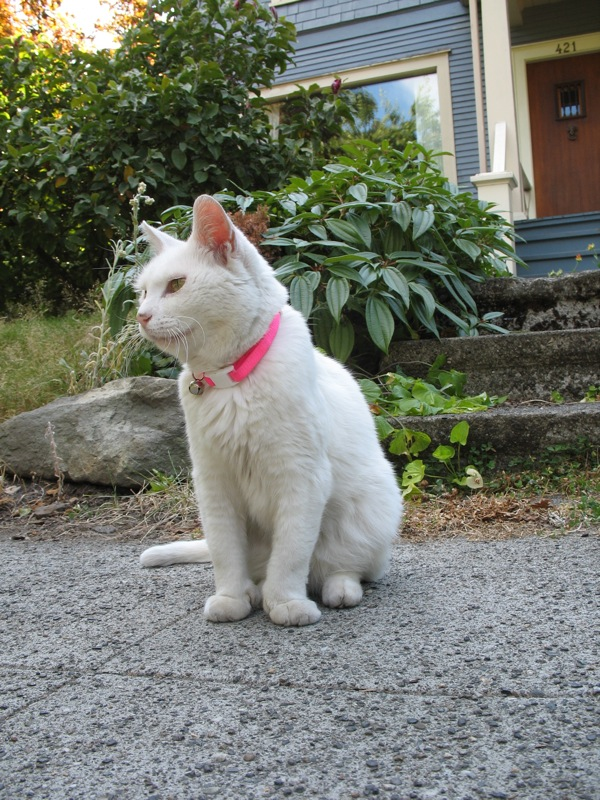 cute white cat with ping neckless