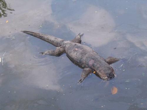 Dead Monitor Lizard