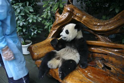 Errant Panda Cub ...