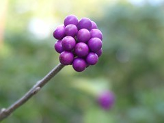 Purple Berry Tree (The One and Only Jet Guer) Tags: summer white flower green yard garden landscape spring berry berries purple earth silk fragrant smelly beauiful