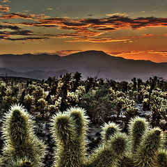Joshua Tree Cholla Garden (Nick  Carlson) Tags: pictures cactus cacti sunrise photography photo desert photos pics carlson nick picture joshuatree pic hdr highdynamicrange hdri cholla joshuatreenationalpark chollagarden tonemapped silvercholla jumpingcholla aplusphoto nickcarlson truelifeimages nickcarlsonphotography