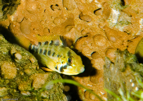Apistogramma sp. 'Rotpunkt' Female