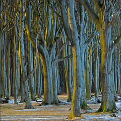 haunted forest (Sandra Bartocha) Tags: blue trees snow nature forest germany critic mv mecklenburg mecklenburgvorpommern beeches beautifulearth hauntedforest gespensterwald idream mecklenburgwesternpommerania ourplanet thesecretlifeoftrees spookyforest wildwondersofeurope updatecollection csandrabartocha wwwbartochaphotographycom