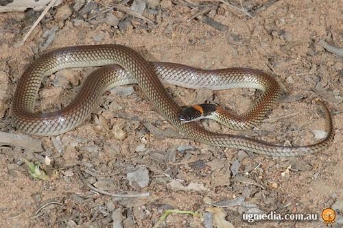 Red-naped snake (Furina diadema)
