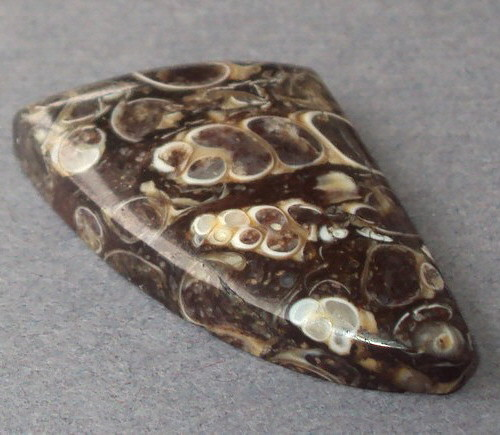 Turritella Fossil
