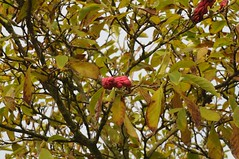 rote Früchte der Tulpen-Magnolie; Spiekeroog 2010 (585) (Chironius) Tags: insel spiekeroog nordsee germany deutschland niedersachsen allemagne alemania germania германия ostfriesland merdunord mardelnorte frucht fruit frutta owoc fruta фрукты frukt meyve buah northsea see meer magnoliids magnoliales magnolienartige magnoliaceae magnoliengewächse magnolien magnolia