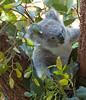 Baby Koala (deltaMike) Tags: city tree leaf eucalyptus schnivic tarongazoo sydneyaustralia babykoala iso1400 focallength200mm nikond90 102510 dsc7338nef deltamike lens18200mmf3556 flashstatusnoflash exposure180secatf56