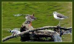 Les deux chevaliers. (glemoigne) Tags: bird port brittany bretagne breizh armor 29 chevalier birdwatching oiseau tringatotanus bzh finistère shank bretaña redshank greenshank tringanebularia estuaire ornithologie logonna iroise armorique bretanya chevalieraboyeur bretañafrancesa chevaliergambette radedebrest k20d logonnadaoulas justpentax smcpda300mmf40edifsdm da300 glemoigne gilbertlemoigne