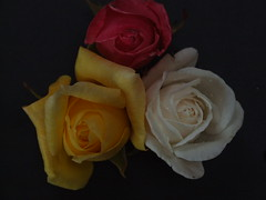 Roses - by jkavo