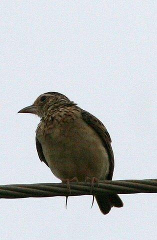 Jerdon's Bushlark