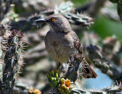 Curve-billed Thrasher on Nature's Concertina Wire (Fort Photo) Tags: cactus bird birds animal colorado wildlife birding ave co opuntia branson ornithology soe animalkingdom avian cholla 2007 thrasher excellence curvebilledthrasher passeriformes naturesfinest toxostomacurvirostre wildbird mimidae flickrsbest specnature specanimal animalkingdomelite avianexcellence diamondclassphotographer