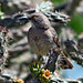 Curve-billed Thrasher on Nature