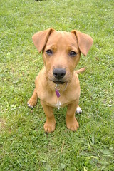 Honey - 14 weeks (Plbmak) Tags: dog pet cute puppy jack mutt fuzzy russel honey jackrussel patterdale mygearandme mygearandmepremium mygearandmebronze mygearandmesilver mygearandmegold mygearandmeplatinum mygearandmediamond