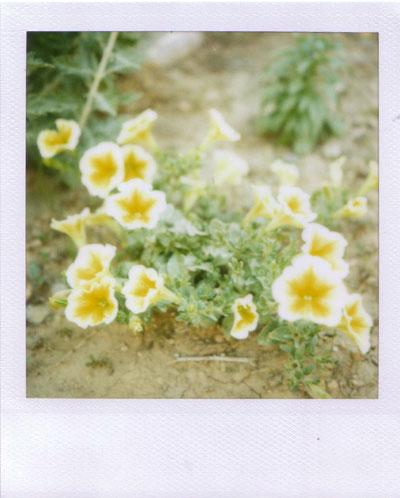 lemon zest petunias
