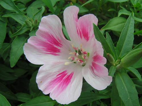Godetia Flower