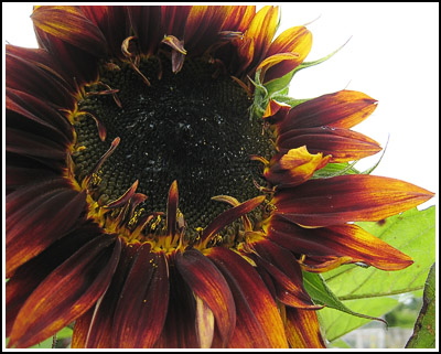 Sunflower copy