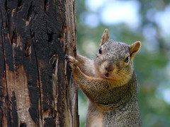 """And What Do YOU Want?"" (Glenn Harris (Clintriter)) Tags: hostile squirrel hoodriver oregon animal closeup coolest naturesfinest specnature animalkingdomelite supershot popsgallery explore naturewatcher diamondclassphotographer flickrdiamond bestofsquirrels"