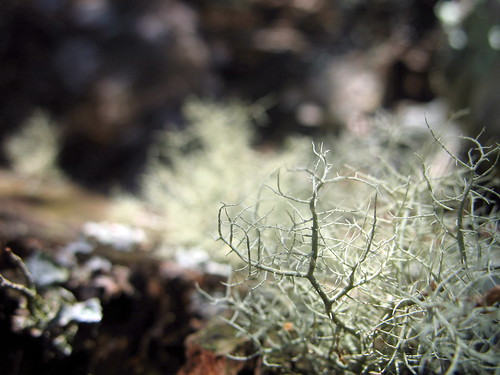 spindly moss