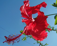Hibiscus (Sbmoot) Tags: pakistan red flower hibiscus islamabad sbmoot