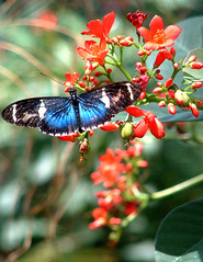 Blue ButterFly (larryn2009) Tags: 2002 red flower florida april keywest bluebutterfly duvallstreet flightsoffancy bylarrycrowjr