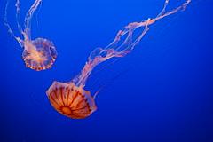 california aquarium monterey jellyfish tank montereybayaquarium