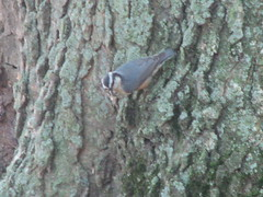 Bad picture of red-breasted nuthatch