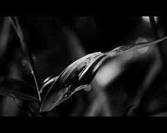 Tropfen in s/w (Frau Koriander) Tags: light bw bokeh fineart natur nikond50 bamboo raindrops botanic sw waterdrops wassertropfen bambus regentropfen lichtspiel lichtreflex sigma70300mm456dgmacro