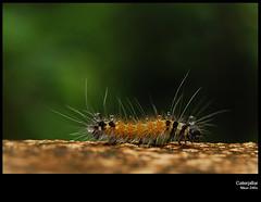Caterpillar (Ashok A Menon) Tags: hairy nikon skin moth kerala caterpillar ashok trivandrum muslin mywinners clostridium botulinum d40x