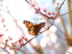 Mariposa pavoreal (Luigi Pirandelo) Tags: butterfly spring olympus galicia naturesfinest aplusphoto ultimateshot goldenphotographer betterthangood