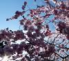 Blossoms Against Blue Sky. (Church Mouse 07) Tags: uk tree nature lumix spring may panasonic british pinkandblue 2010 atthepark blossomtree dmcfz28 churchmouse07