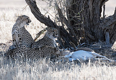 Cheetahs at Kill 2, Kgalagadi TP June 2010