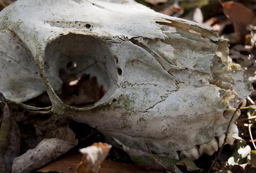 Third Deer Skull