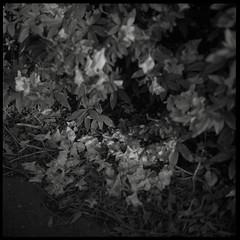 Fallen beauty (gullevek) Tags: flowers blackandwhite plants 6x6 film japan geotagged iso100 fuji  neopan bushes kanagawa  kawasaki sampo   scannedfromnegative fujineopanacros100 rolleiflex28c epsongtx900 thegoodcollection geo:lat=35513834 geo:lon=139753899