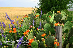Cactus and Wheatfield