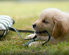 Just give me something to chew (Russ Beinder) Tags: dog chien topv111 goldenretriever puppy topv333 duke canine getty pup k9 impressedbeauty 2007062600098