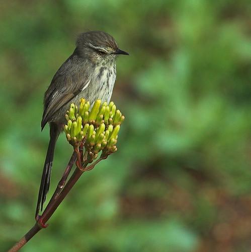 Spotted Prinia (Prinia maculosa)